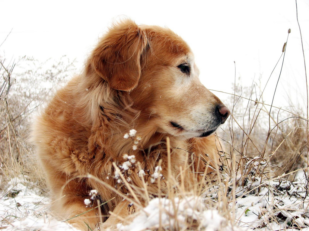 Sadie, golden retriever, snow, yard
