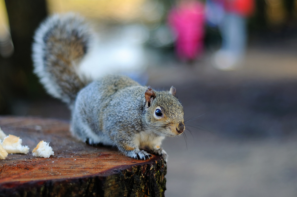 Sciurus carolinensis, Squirrel, animal, nature