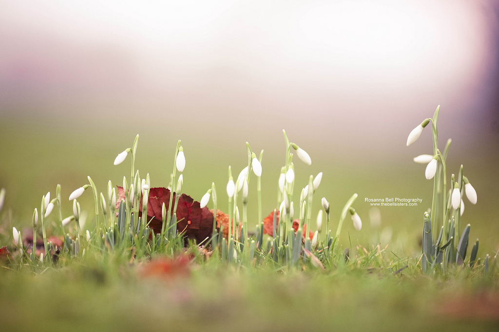 snowdrops, new life, flowers, 365 project