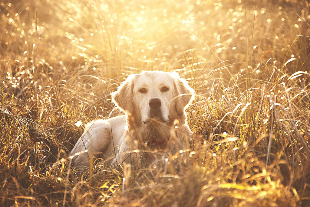 Sophie, Puppy, Golden Retriever, Setting Sun