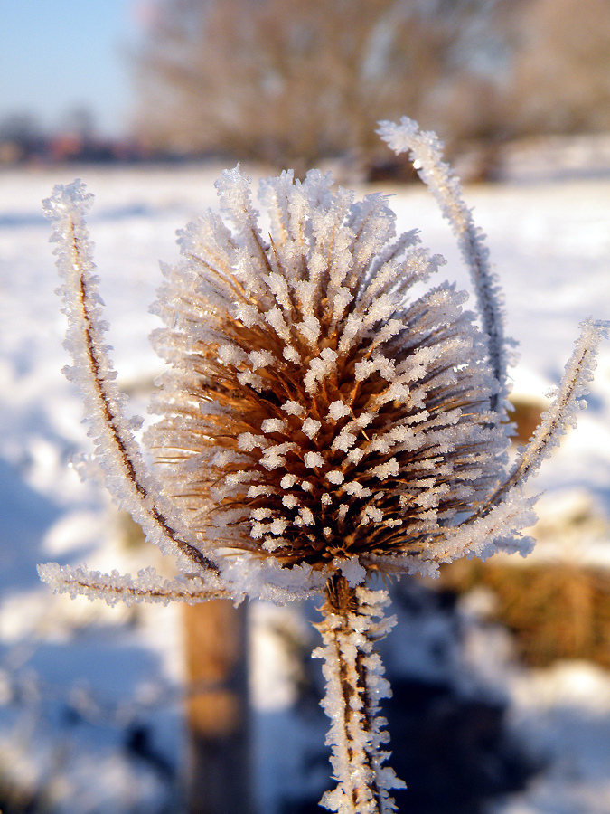 teasel, frost, ice, snow