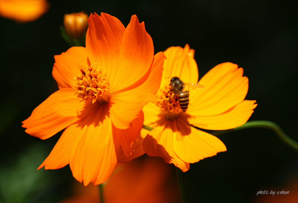 backlighting, bee, bokeh, closeup, colorful, colours, cosmos, dof, flower, flowers, light, yellow
