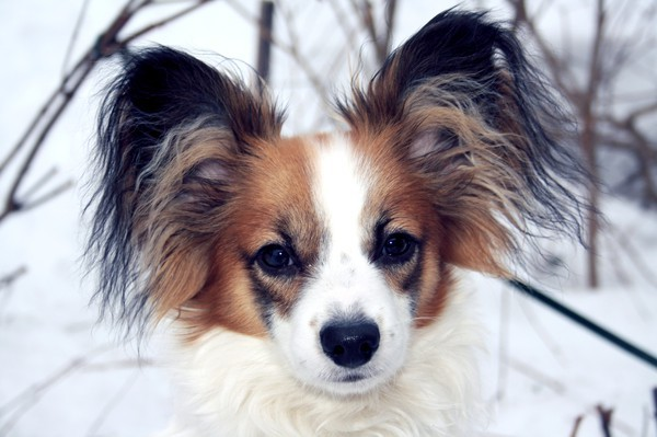 aaaw, animal, blue, cat, cute, dog, fashion, love, papillon, photo, snow, sweet