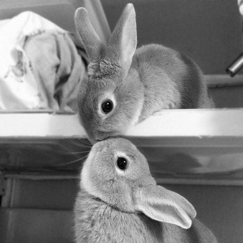 adorable, animal, aww, black and white, bunnies, bunny, cute, kiss, photography