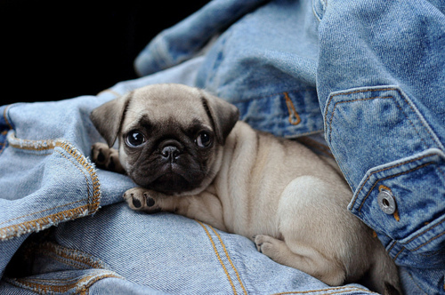 adorable, animal, baby, cute, denim, dog, puppy