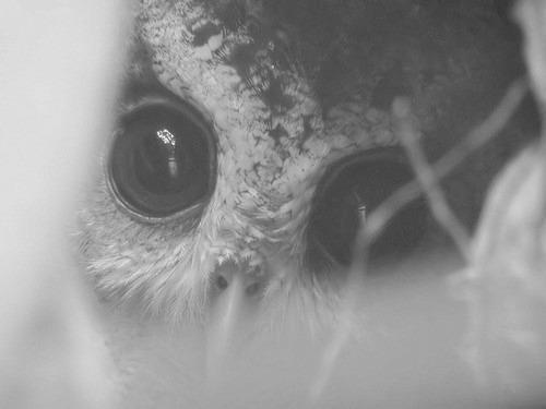 adorable, animal, beautiful, black and white, cute, eyes, owl, photography