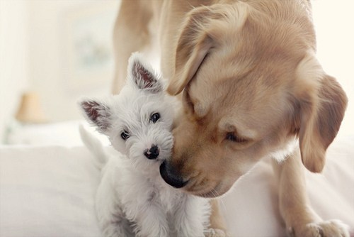 adorable, animals, aww, brown, cute, dog, dogs, ears, fur, hug, kiss, pet, pets, puppies, puppy, so cute, white, yorkie, yorkshire terrier