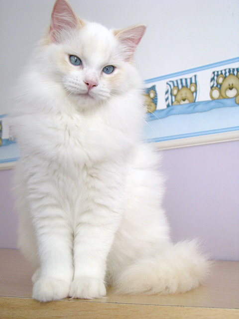 animal, animals, cat, cats, ragdoll, ragdolls, white cat, white cats, white kitten, white kittens