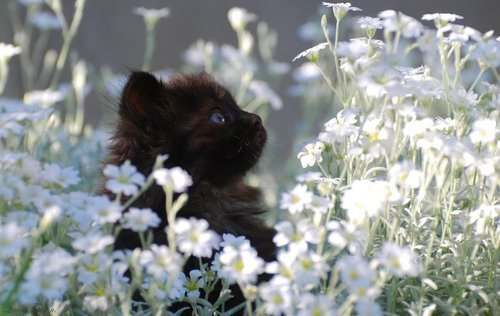 animal, black cat, cat, cute, eyes, flowers, kitty, pussycat