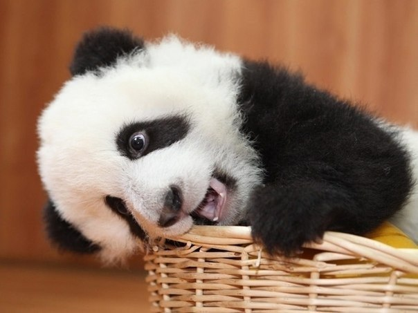animal, cute, funny, panda