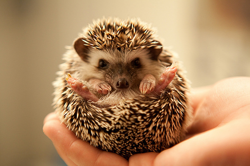 animal, cute, jawn, porcupine
