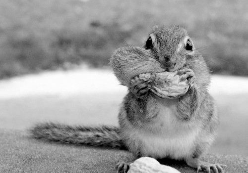 animals, black and white, chipmunk, cool
