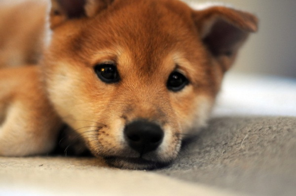 aw, aww, awww, cute, dog, dogs, ginger, love, photography, puppy, shiba inu, sweet