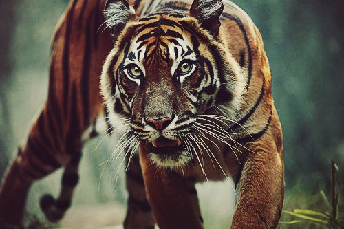 awesome, cute, tiger