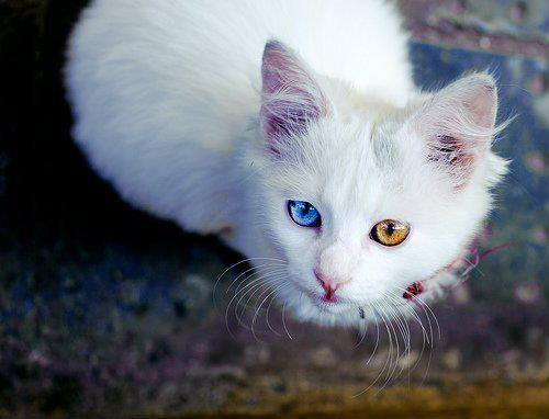 baby, beautiful, blue, cat, colorful, cute, eyes, gold, photograpy, sweet, white