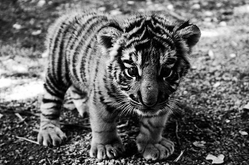 baby, black and white, cub, cute