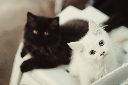 beautiful, black and white, cat, cats, cute, eyes, kitties, photo