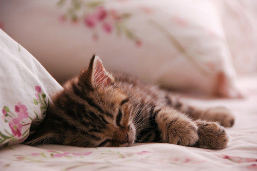bed, brown, cat, cute, flowers, kitty, leying, pink, realaksing, slepy, so cute, strips, tierd