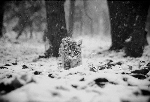 black and white, cat, feline, kitten, snow, winter