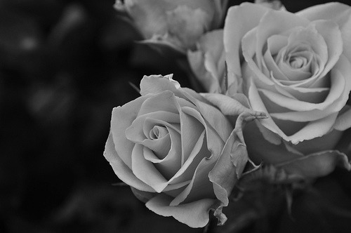 black and white, flower, flowers, photography, roses