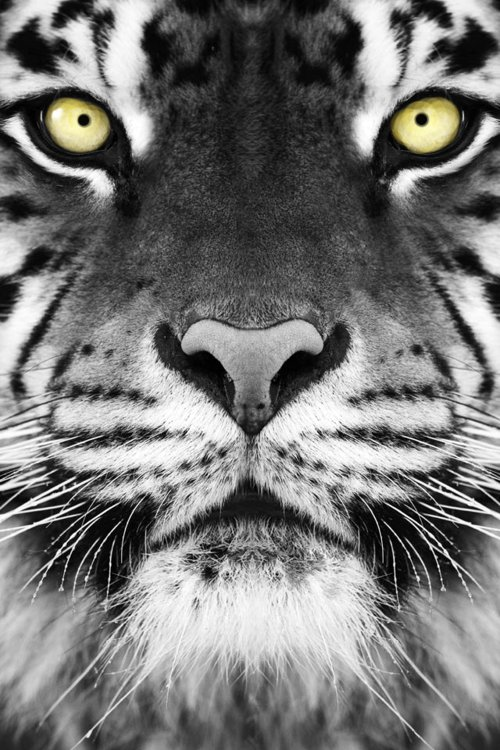 black and white, photography, tiger, wild image #487765 on Favim.com Tiger Eyes Black And White