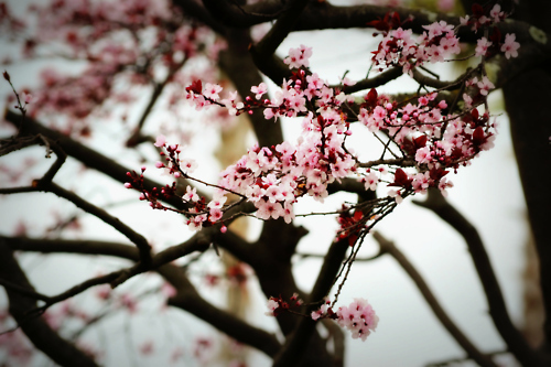 blossom, cherry, nature, photography