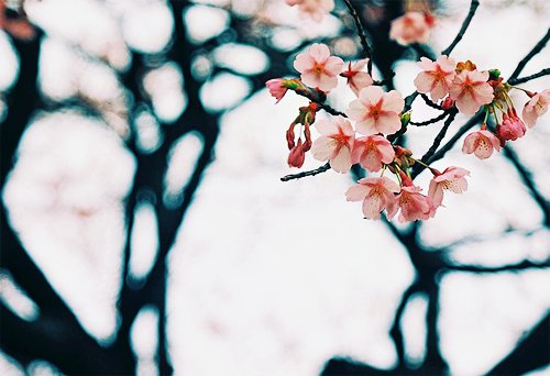 cherry blossoms, floral, flower, flowers