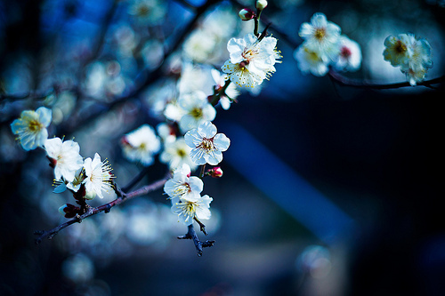 cherry blossoms, floral, flower, japan