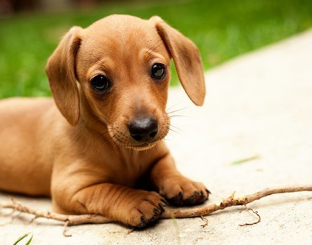 cute, dachshund, dog, puppy - inspiring picture on Favim.com