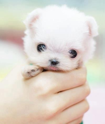 cute, dog, doggy, puppy, small, sweety