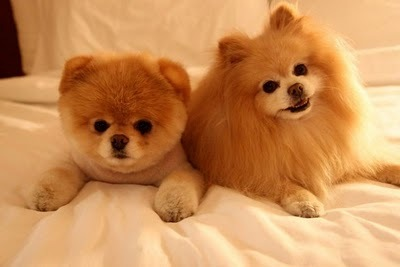 cute, pomeranian, puppy