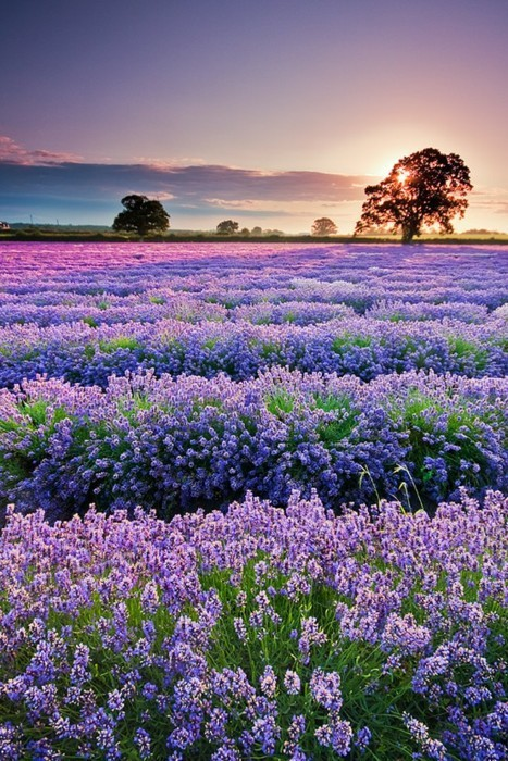 field, flower, lavanda, nature, sunset