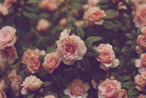 flowers, hipster, photography, pink, pretty, rose