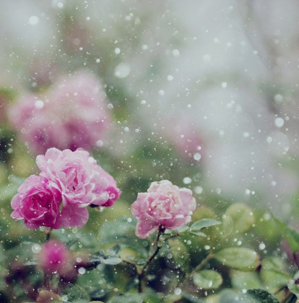 flowers, nature, pink, rainy