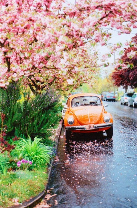 lucy, auto, beautiful, blossoms