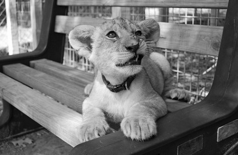 animal, black & white, black and white, cub