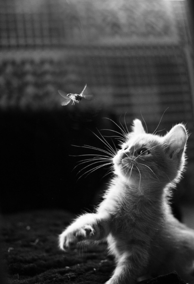 animal, black and white, cat, cute