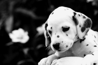 animal, black and white, cute, dalmatian