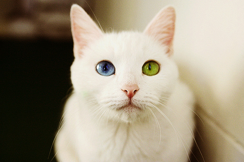 animal, blue, cat, cool, crazy, cute, eyes, gato, green, pretty