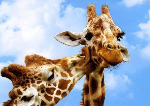 animal, blue, cute, giraffe