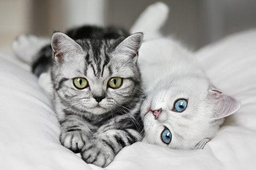 animals, blue, cat, cute, eyes, greejn, meow, white