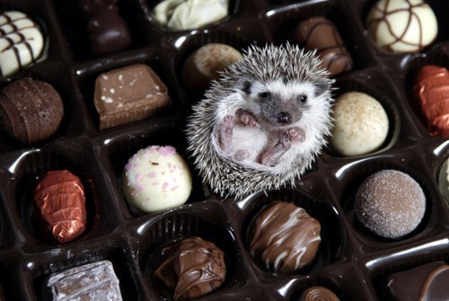 animals, chocolate, cute, hedgehog, kawaii, mammals