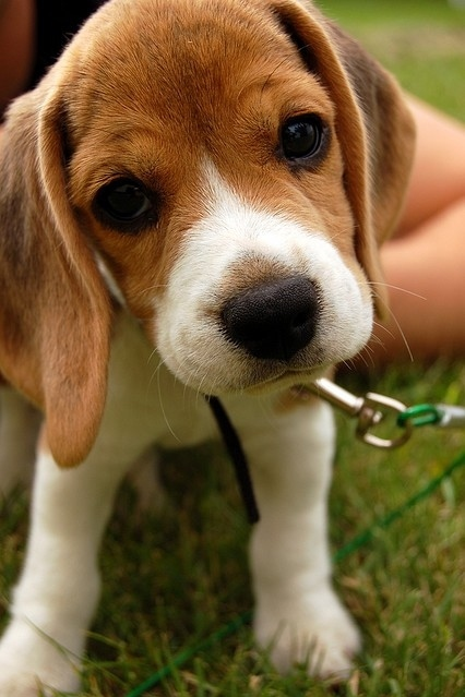 baby, beagle, cute, dog