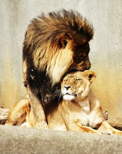 beautiful, couples, cute, hipster, indie, lion, lioness, love, photography, vintage