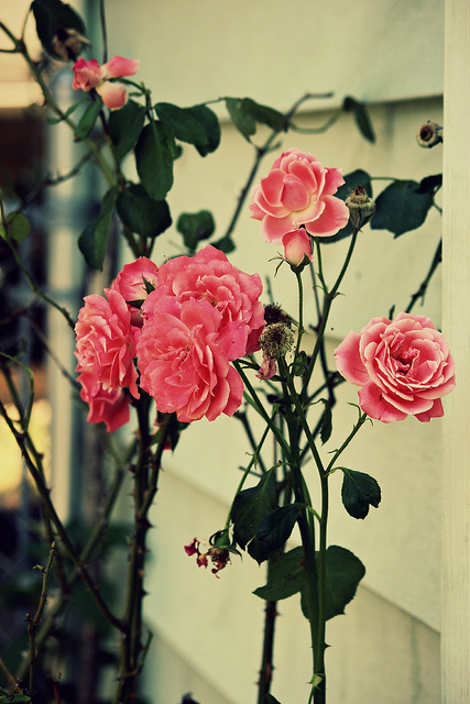 beautiful, cute, love, photography, pretty, rose, roses, vintage