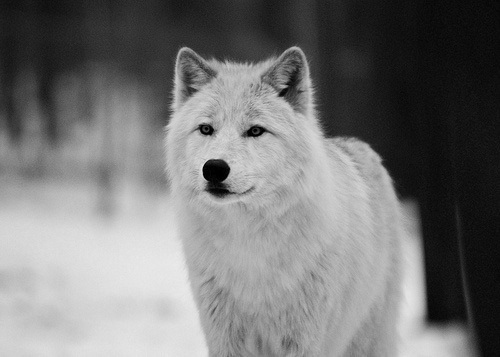 black and white, canis, dog, love