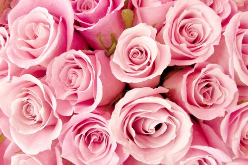 cute, floral, flowers, nature, pink, rose, roses