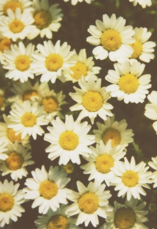 aw, color, colorful, colors, cute, daisies, daisy, flower, flowers, garden, green, landscape, lovely, nature, nautre, photo, photograph, photography, white, yellow