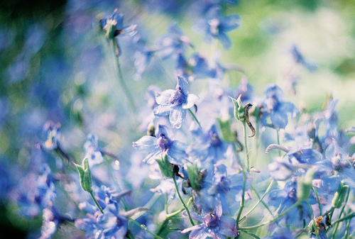 Blue Flower Photography Tumblr | www.imgkid.com - The ...