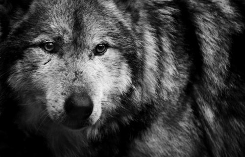 ~Iro~ The Deadly Blood Shed Black-and-white-wolf-Favim.com-620737